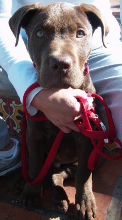 Charlie Brown. Pit bull lab mix :) | Mixed breed Dogs/Pups ...