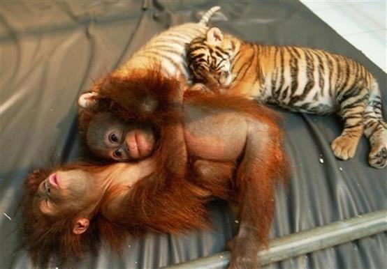 Orangutan and Tiger ba...