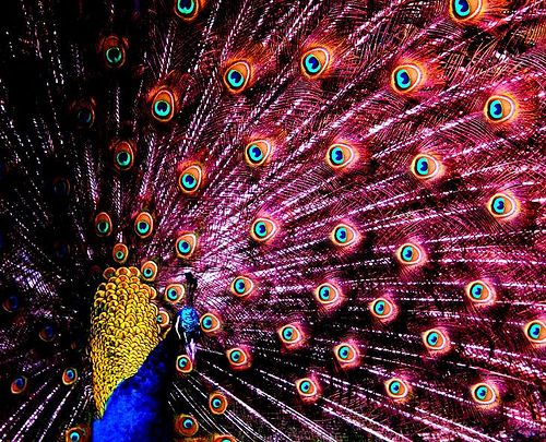 pin by chris on all things peacock pinterest