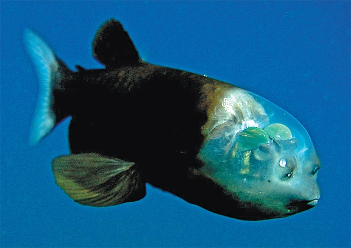 the barreleye fish The barreleye fish is a peculiar fish found near the deep end of the twilight zone of the ocean (660 to 3300 feet) they have cylindrical eyes that are inside its.