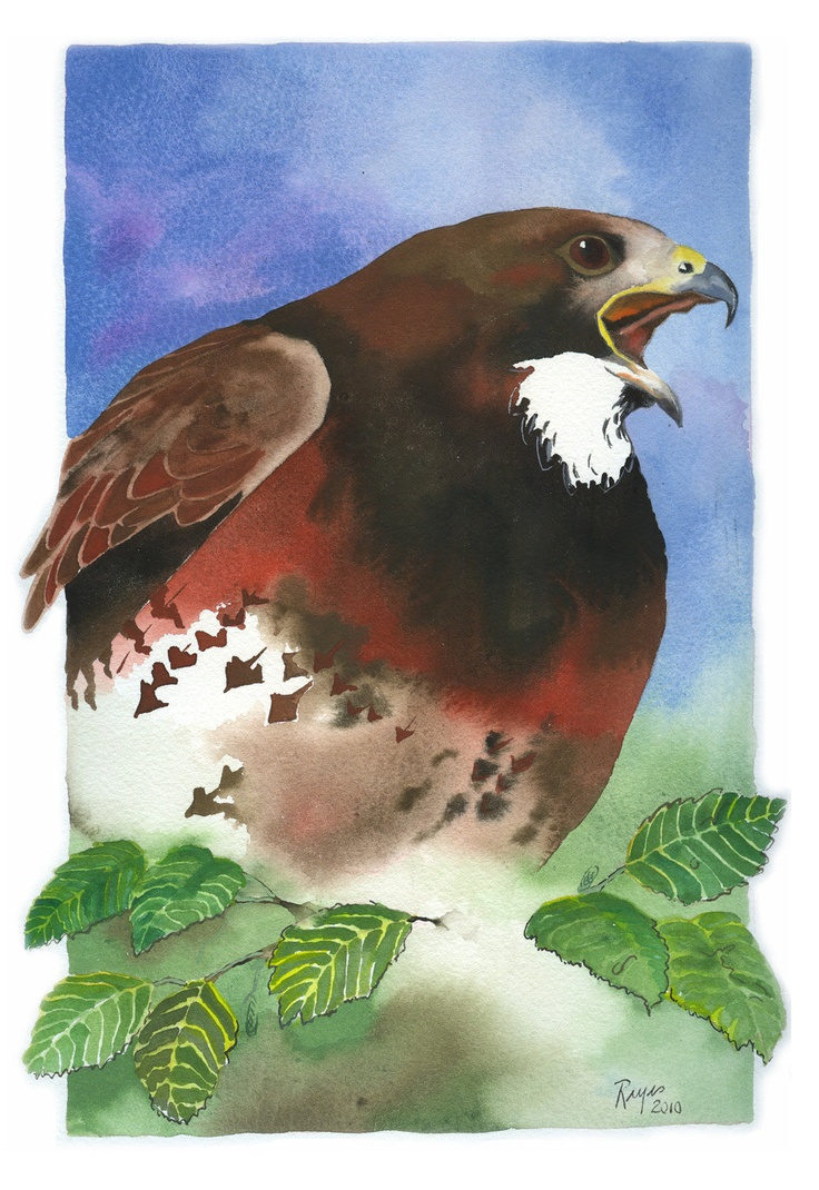 Hawk painting watercolor - photo#27