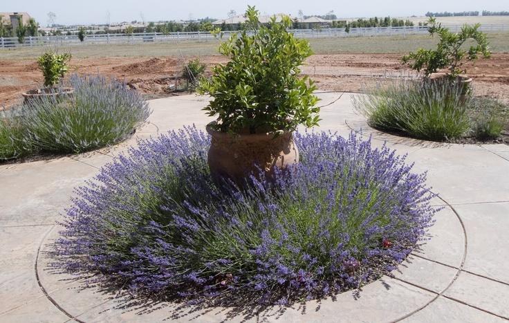 Top 28 lavender garden ideas lavender garden design for Garden design ideas lavender