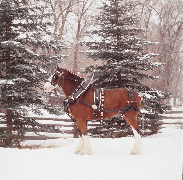 budweiser clydesdale horses in snow