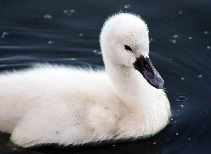 Baby Swan | Favorite Animals | Pinterest