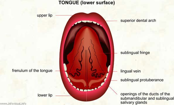 Anatomy of under tongue