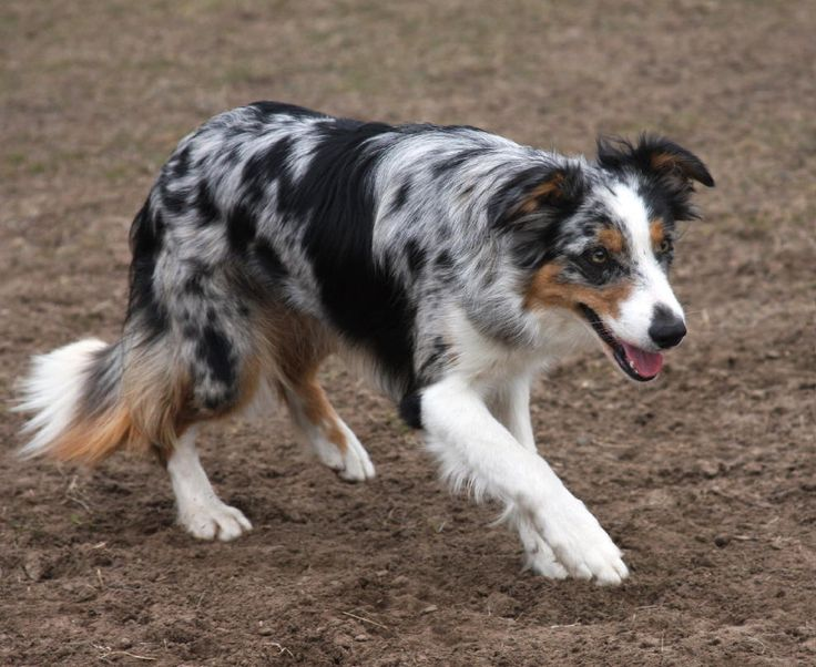 Border Collie Blue Merle | Dog Breeds Picture