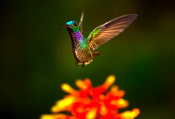 Hummingbird by Louie Schwartzberg
