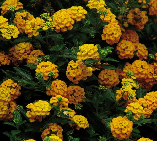 lantana. blooms april to the first frost.