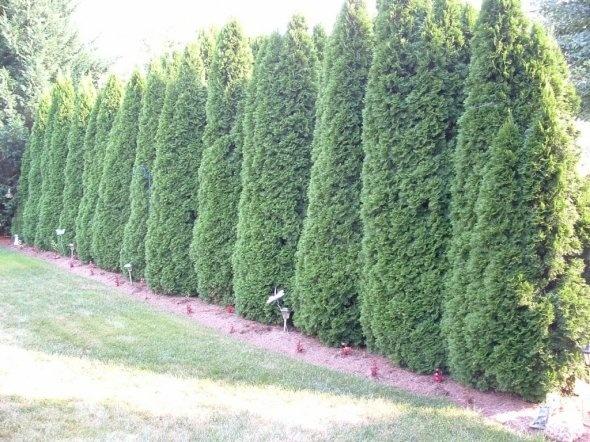 Emerald Arborvitae | Yard | Pinterest - 145.3KB