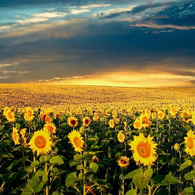 Field Of Flowers Wedding Michigan : Huge sun flower fields sunflowers