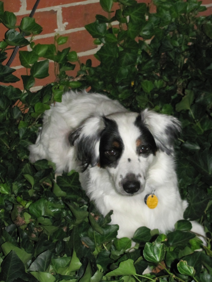 Border Collie Australian Shepherd Mix Puppies | Dog Breeds Picture