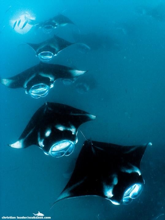 Manta ray so lucky to have swam with these graceful creatures in the