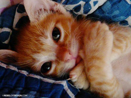 orange kitty cat