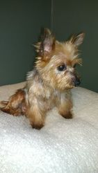 Yorkie Dog in Louisville, KY. Frankie Ann is a tiny little female ...