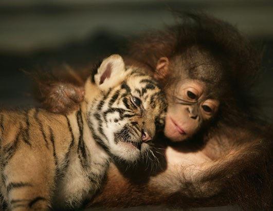 Baby orangutan and tig...