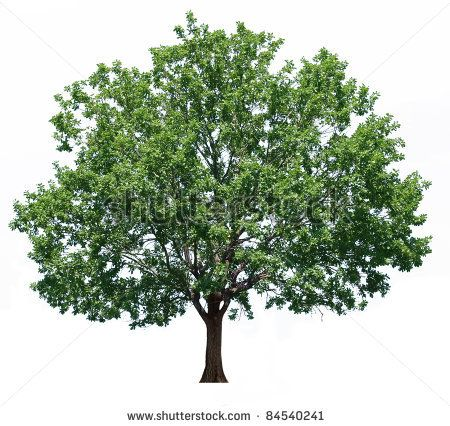 oakTree clip art - Google Search | clip art for scrap book | Pinterest  Oak Tree Clip Art