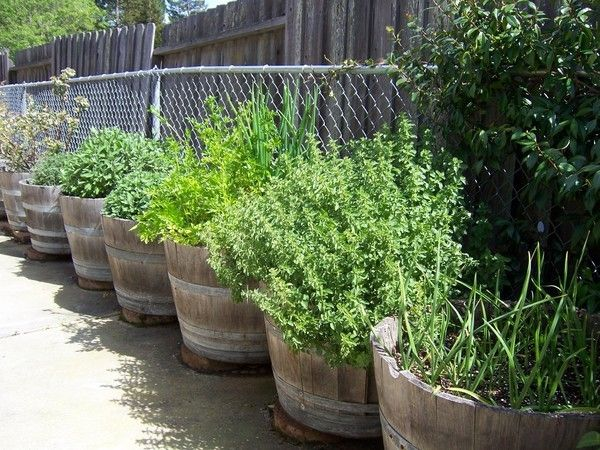 Planting herbs in a wine barrel