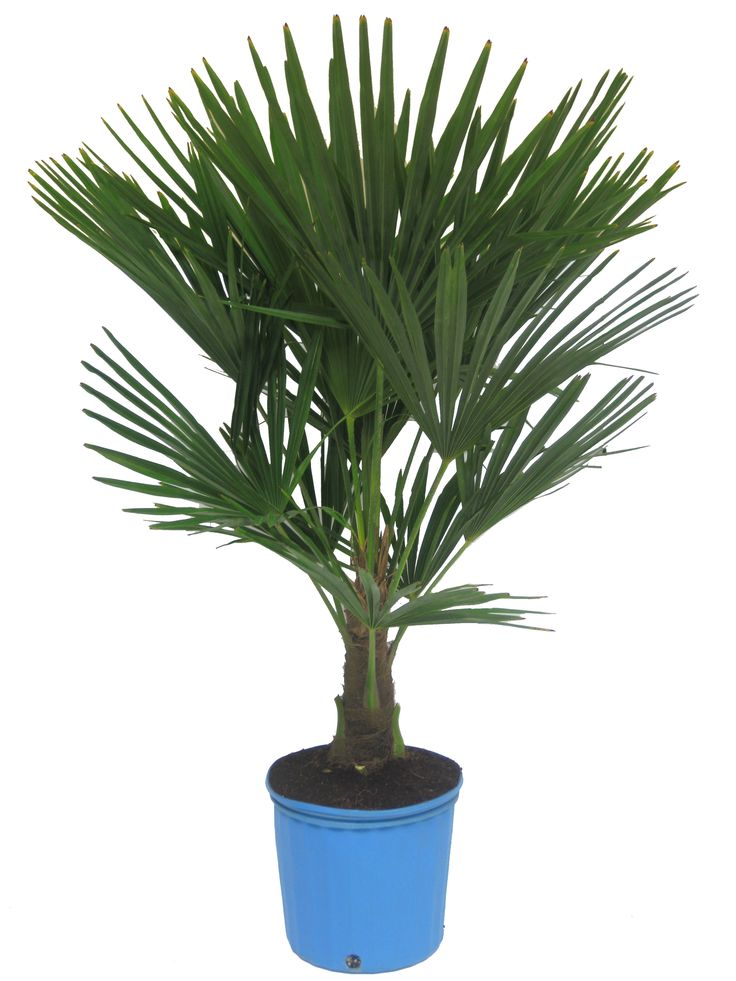 windmill palm trachycarpus fortunei my bucket list pinterest. Black Bedroom Furniture Sets. Home Design Ideas