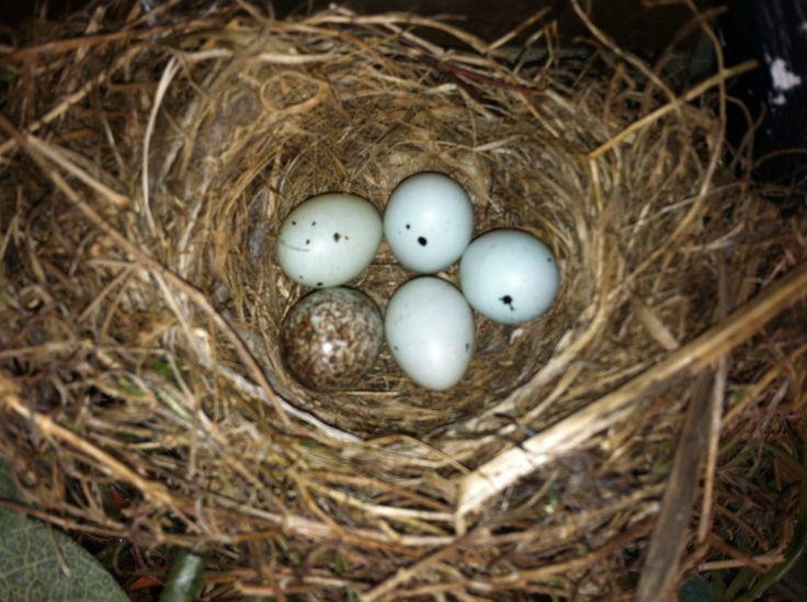 Purple Finch Nest Purple finch nest | Mo...