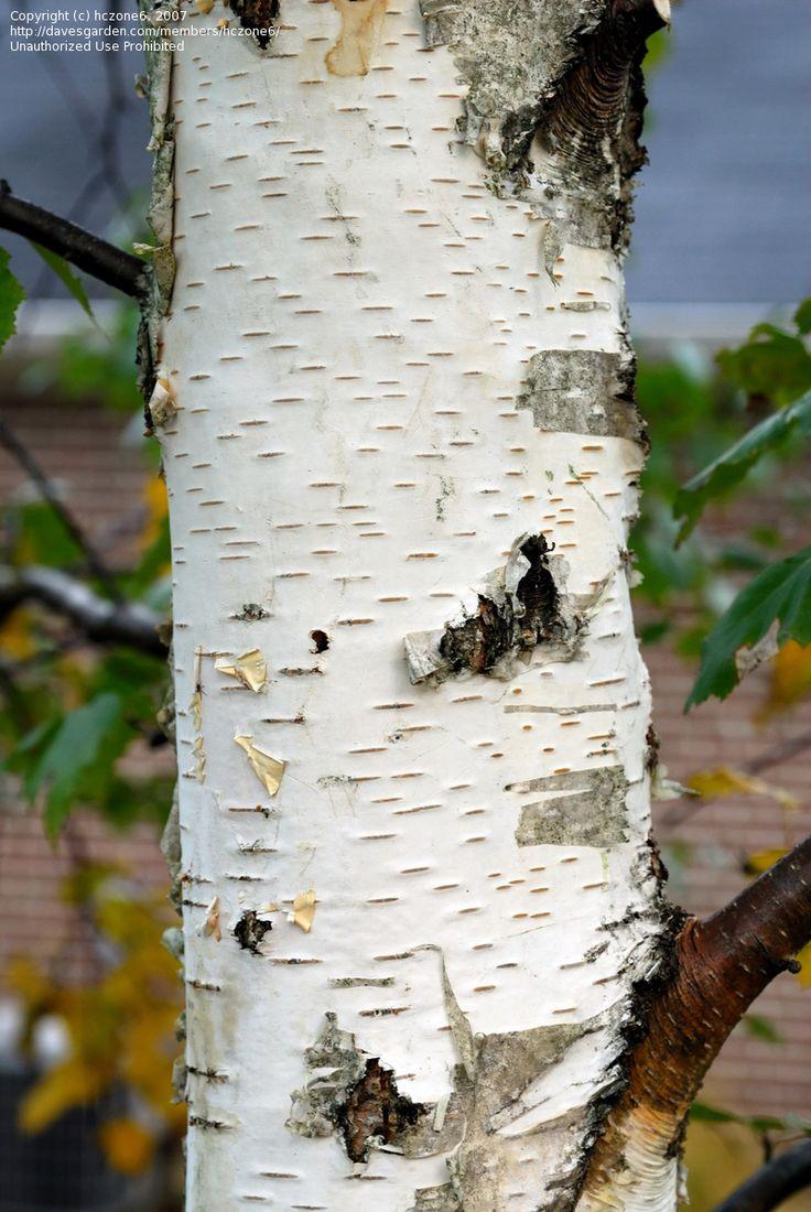 European White Birch Tree | Trees | Pinterest