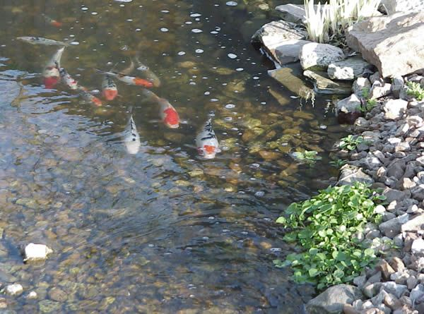 Natural spring pond koi pond plants ponds pinterest for Koi pond plants