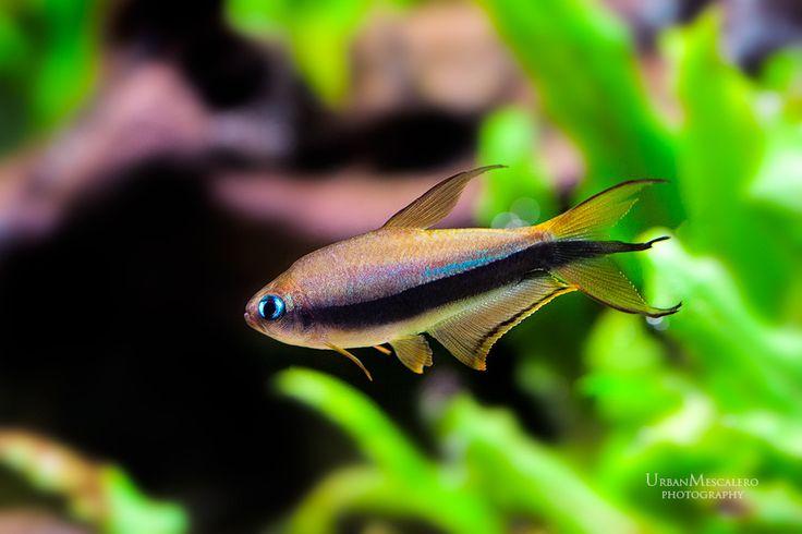 Emperor Tetra Aquarium & Fish Pinterest