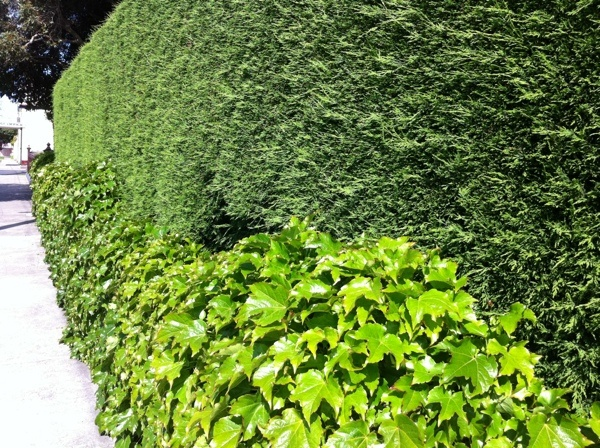 Cypress hedge with Boston ivy | Plants | Pinterest