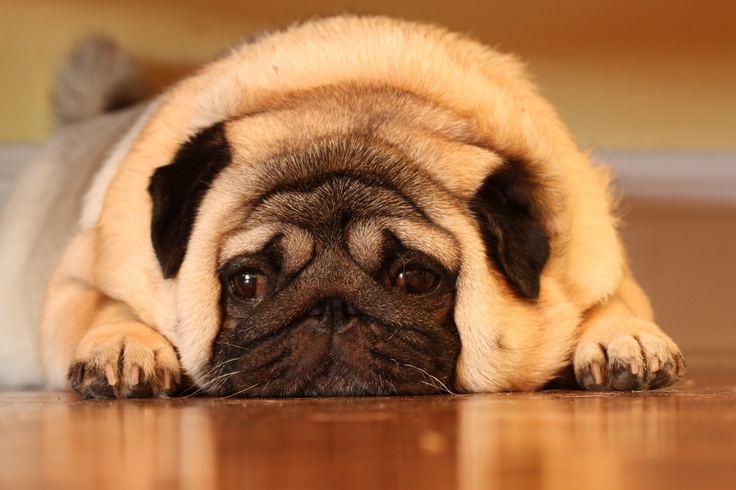 Fat Cute Pugs Cute Fat Pugs Was a Cute