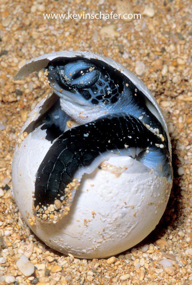 Tortuguero Sea Turtles