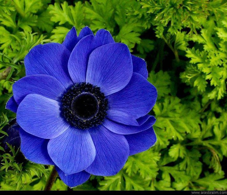 Blue Anemone | I Love These Flowers | Pinterest