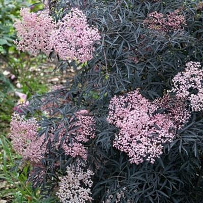 elderberry black lace sambucus nigra plants i have. Black Bedroom Furniture Sets. Home Design Ideas