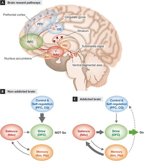 The neurobiology of overeating. Treating overweight individuals should ...