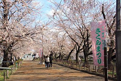 臥竜公園・桜開花状況 4/11(5分咲き) 臥竜公園・桜開花状況 4/11(5分咲き) | Sa