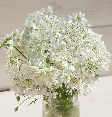 Orlaya white finch great filler flower anna burke for Types of filler flowers