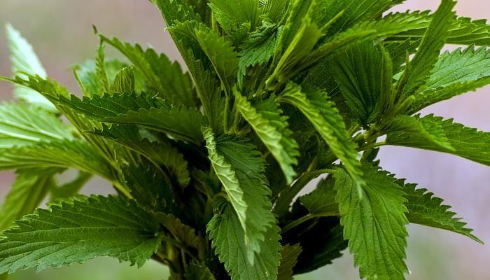 Stinging Nettle Pesto | The Splendid Table