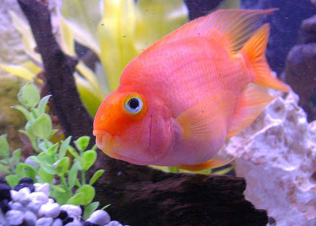 Blood parrot cichlid controlled chaos pinterest for Pictures of parrot fish
