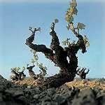 01 - Hace 65 millones de años aparece la planta vitis en la Tierra durante la era terciaria. Es el periodo  lignítico.
