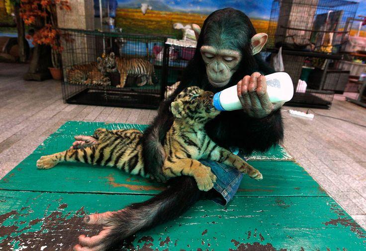 a chimp feeding a tiger!