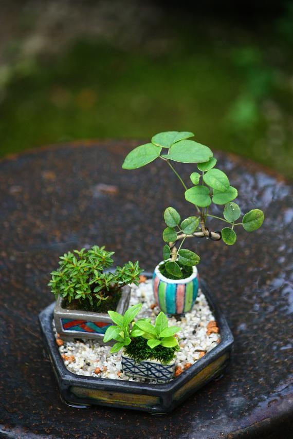 miniature bonsai the art of bonsai pinterest. Black Bedroom Furniture Sets. Home Design Ideas