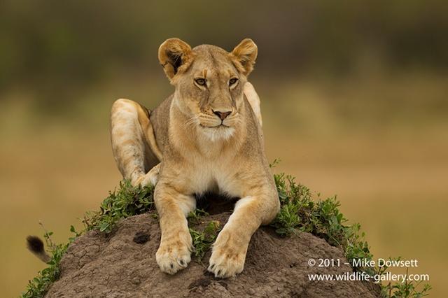 Lioness Tattoo ...