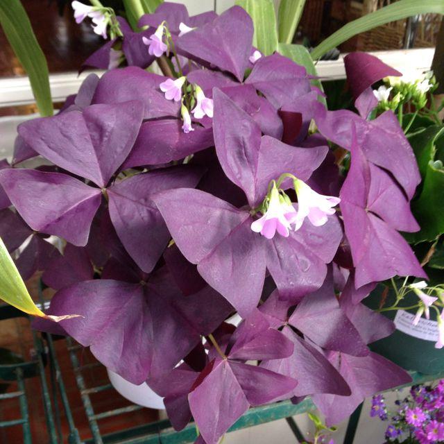 Purple shamrock plant flowers and gardens pinterest - Shamrock houseplant ...