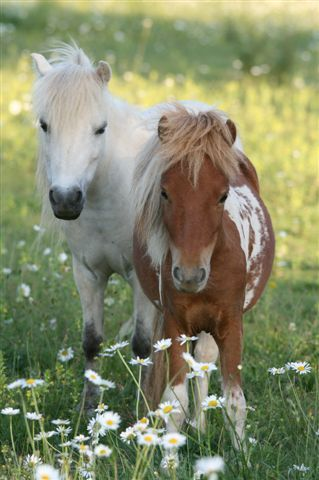 Adorable American Miniature Horses.