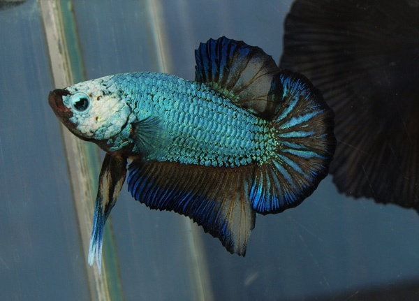 Halfmoon Plakat Betta Fish How To Take Care Of A Betta