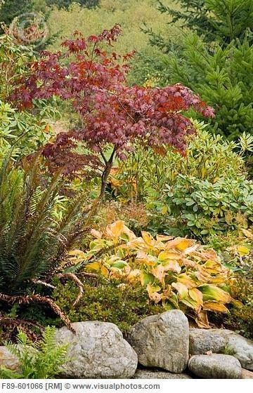 Japanese maple fern hosta shade garden plants pinterest for Plants found in japanese gardens