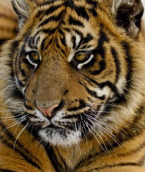 Tiger Cub | Big Cats | Pinterest