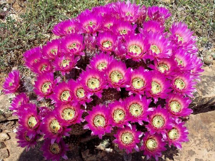 Lace Cactus Colony | cactus | Pinterest