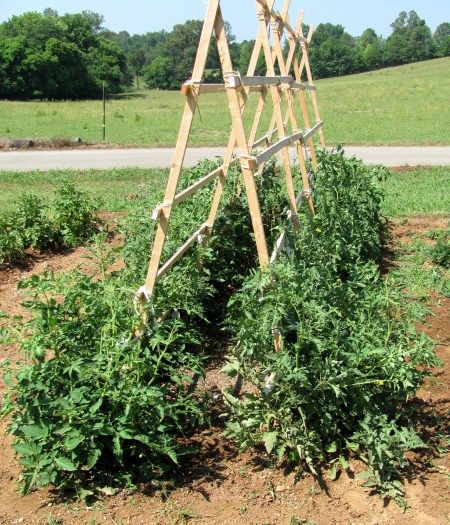 Tomato trellis for the garden fruit trees pinterest for In a garden 26 trees are planted