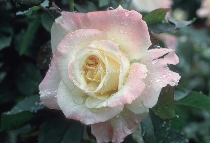 Princess Diana Rose People I Admire Pinterest