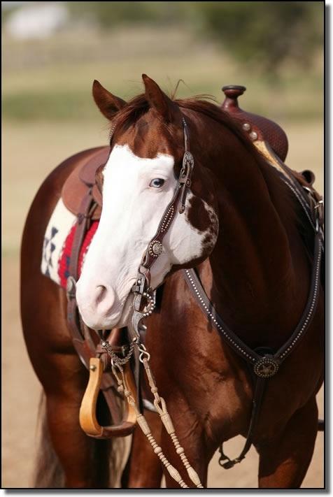 williams paint horses