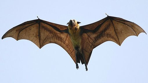 Golden-crowned flying fox | IUCN Red List | Pinterest